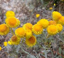 Clustered Everlastings by Ian Berry