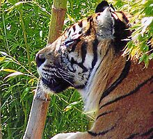 Sunning Tiger by Kirsten H