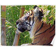 Sunning Tiger Poster