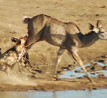 Wild Dog kill by Anthony Catt