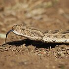 Puff Adder by Anthony Catt