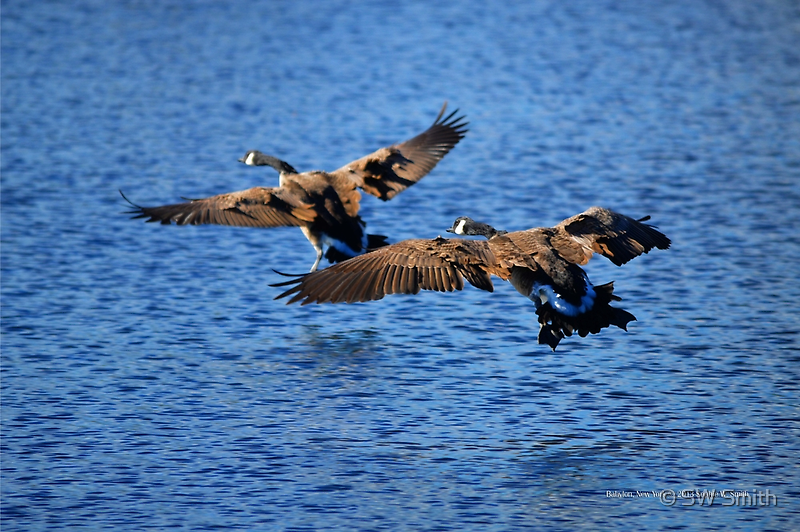 Branta Canadensis   Canada Geese Landing On Argyle Lake - Babylon, New York  by © Sophie W. Smith