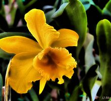 Yellow Cattleya Orchid by Roland Pozo