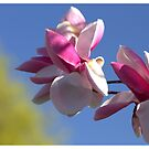Magnolia by Kathi Arnell