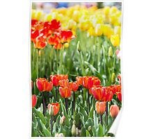 Sunset Tulips Poster