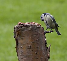 Blue Tit by Dan Rhodes
