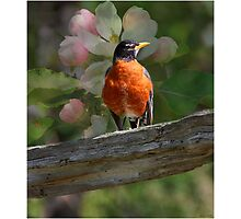 Robin with Blossoms  Photographic Print