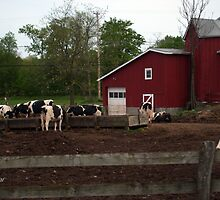 Cows by 4getsundaydrvs