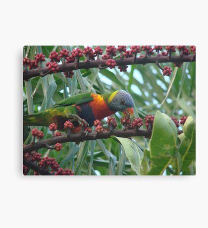 Rainbow Lorrikeet Feasting on the Umbrella  Trees Deliscious Red Fruit Canvas Print