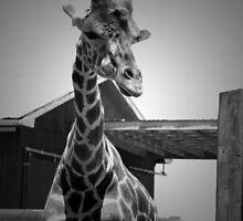 """""""Really?"""", Giraffe in BW by ArtistryBySonia"""