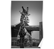 """""""Really?"""", Giraffe in BW Poster"""
