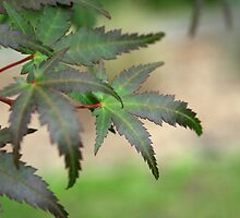 Maple leaves by twinpete