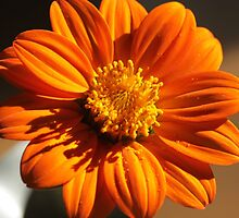 Mexican Sunflower by matthewisles