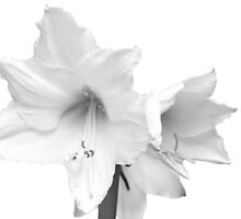 White Amaryllis Flower by BlinkImages