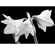 White Amaryllis Flower Photographic Print