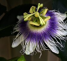 The Passionfruit Flower by Ian Mooney