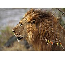 Profile Portrait, Large Male Lion #2, Maasai Mara, Kenya  Photographic Print