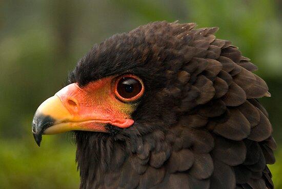 Bateleur Eagle by Frank Yuwono
