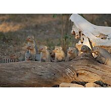 Banded mongoose Photographic Print