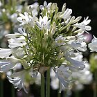 White Bright Agapanthus by Joy Watson