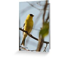 American Goldfinch - Perched Greeting Card