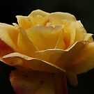 Yellow Rose, by AnnDixon