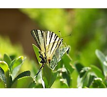 Lebanese Butterfly Photographic Print