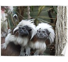 Tamarin monkeys Poster