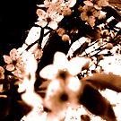 Sepia Blossoms by karolina