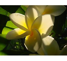 Yellow Fragapani-Soft Inner Glow Photographic Print