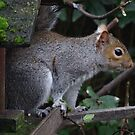 I get hungry too - Grey Squirrel by Rivendell7