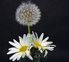 Dandy Daisies by Maria Dryfhout