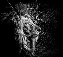 Lion by Traven Milovich