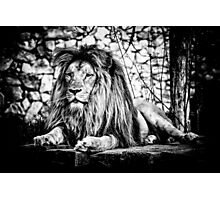 Lion 2 Photographic Print