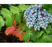 Oregon Grape Photographic Print