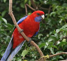 Crimson Rosella by Jade Welch
