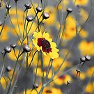 Silver & Gold -- Calliopsis (Coreopsis) by T.J. Martin