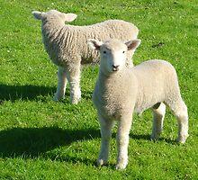 Mirroring Lambs by ardwork