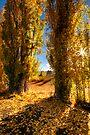 Golden Poplars by Robert Mullner