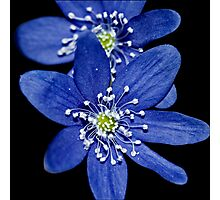 Hepatica nobilis Photographic Print