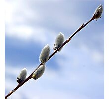 Willow catkins Photographic Print
