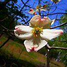 Dogwood Flower  by hallucingenic
