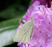 Butterfly resting by Iani