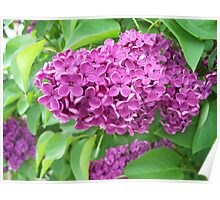 Lilac in full colour Poster