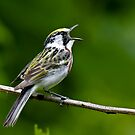 Chestnut-sided Warbler by Benjamin Young