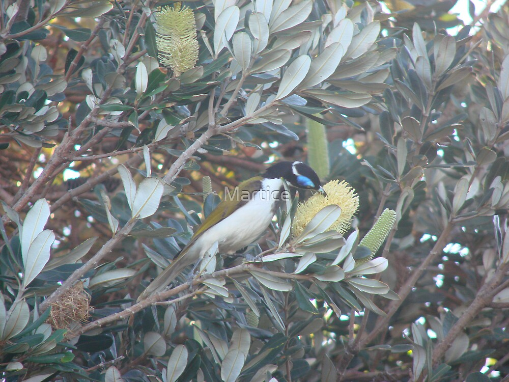 Blue Jay & Banksia by Martice