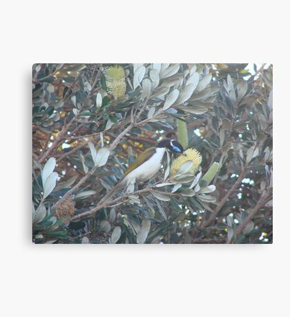 Blue Jay & Banksia Canvas Print