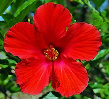 Red Hibiscus Flower by Peter Clements