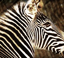 Zebra by Ryan Houston