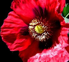 Red Opium Poppy by jsmusic